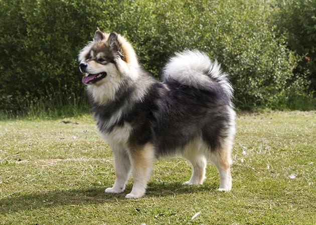 Tilkkuturkin Hallantuoma to Elbereth - Finnish Lapphund