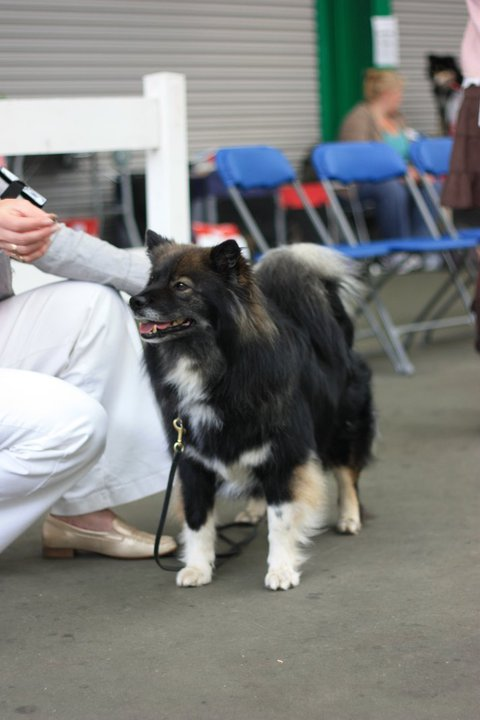 Elbereth Kyky photo by Gareth Thyer (Finnish Lapphund)