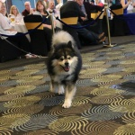 Elbereth Matkamies - Finnish Lapphund at the Contest of Champions 2017