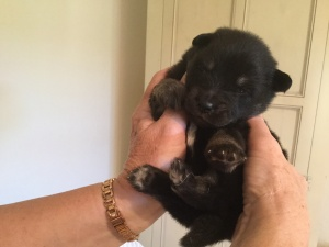 finnish lapphund pup with eyes open