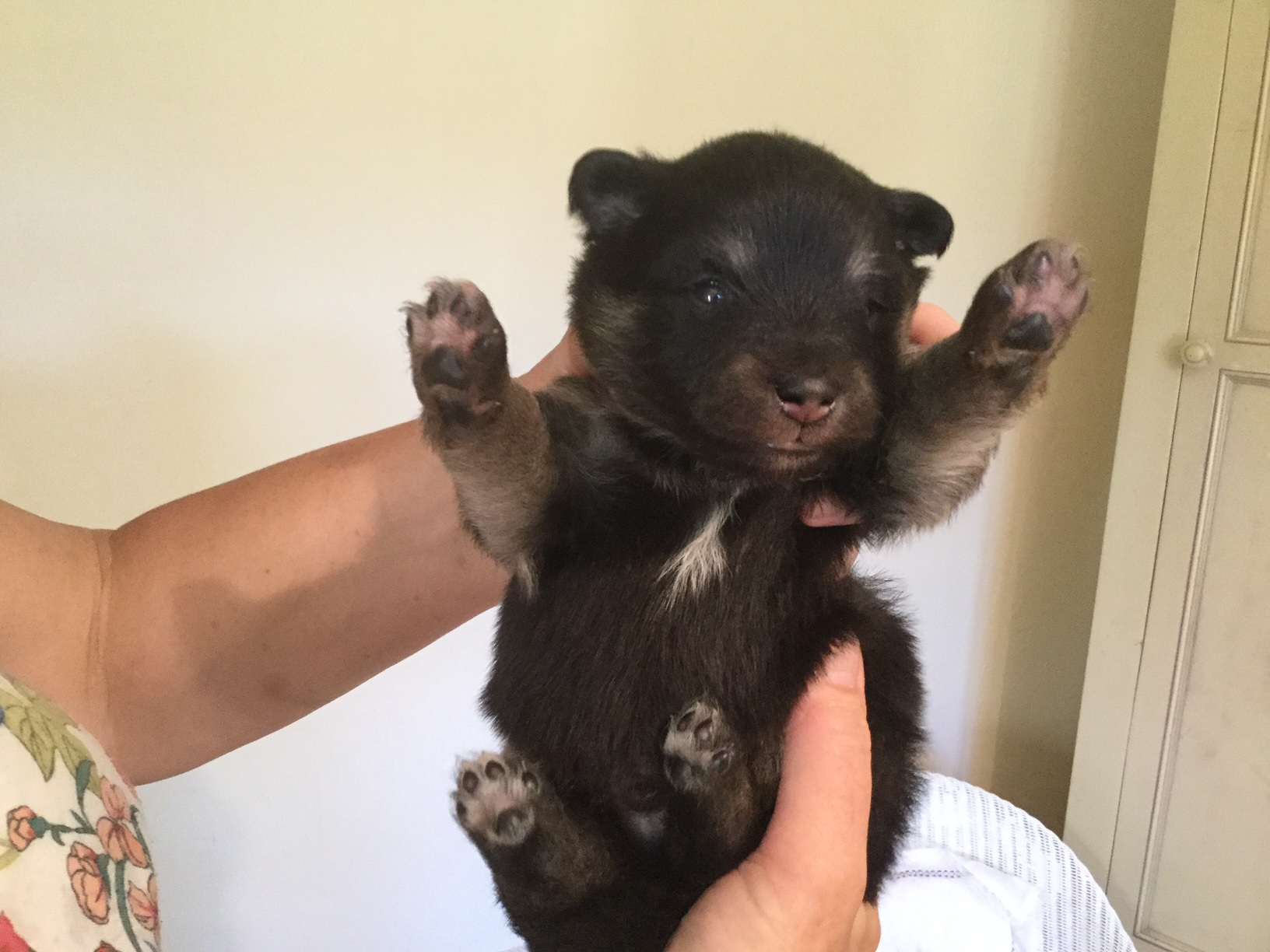 Finnish Lapphund pup at two weeks - Smokey
