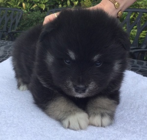finnish lapphund puppy cuddles