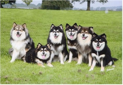 Elbereth Group of Finnish Lapphund by Carol Ann Johnson