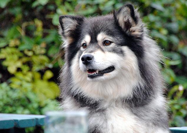 Shacal Reilu Peli - wolf sable finnish lapphund