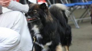 Elbereth Kyky photo by Gareth Thyer (Finnish Lapphund)