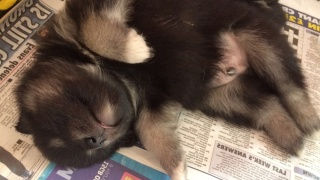 weaning finnish lapphund puppies