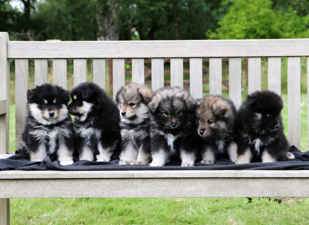 finnish lapphund group puppy photo - look no hands
